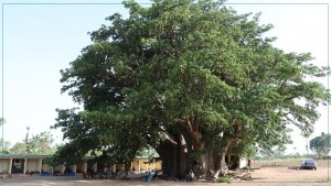 تبلدي في سنغال