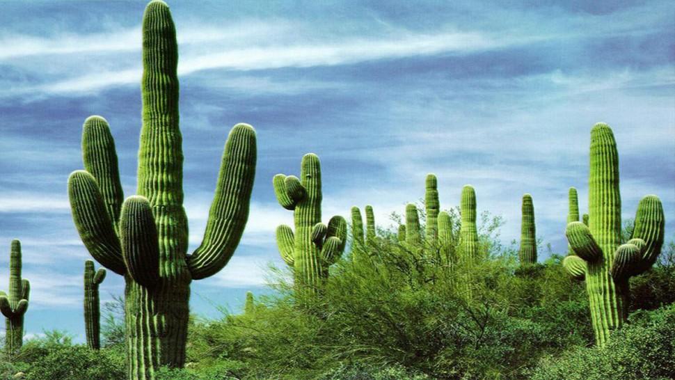 صبار مكسيكي