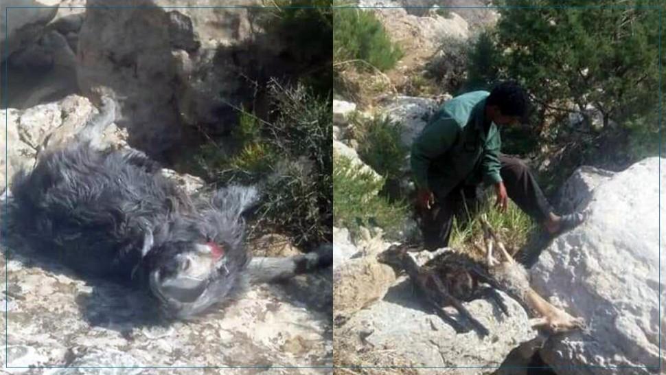 سليانة: نفوق 50 رأس غنم جرفتهم مياه الامطار