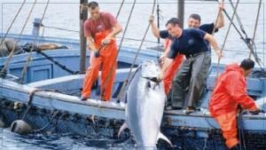 وزارة الفلاحة : اسناد 5 رخص جديدة لصيد التن الاحمر