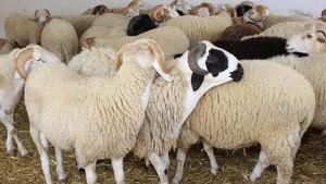 صفاقس : اقبال ضعيف على شراء أضاحي العيد
