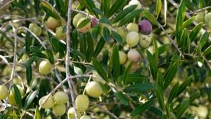 صفاقس: ارتفاع كميات الزيتون الواردة على سوق قرمدة