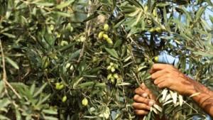 صفاقس: تراجع كميات وأسعار الزيتون في سوق قرمدة