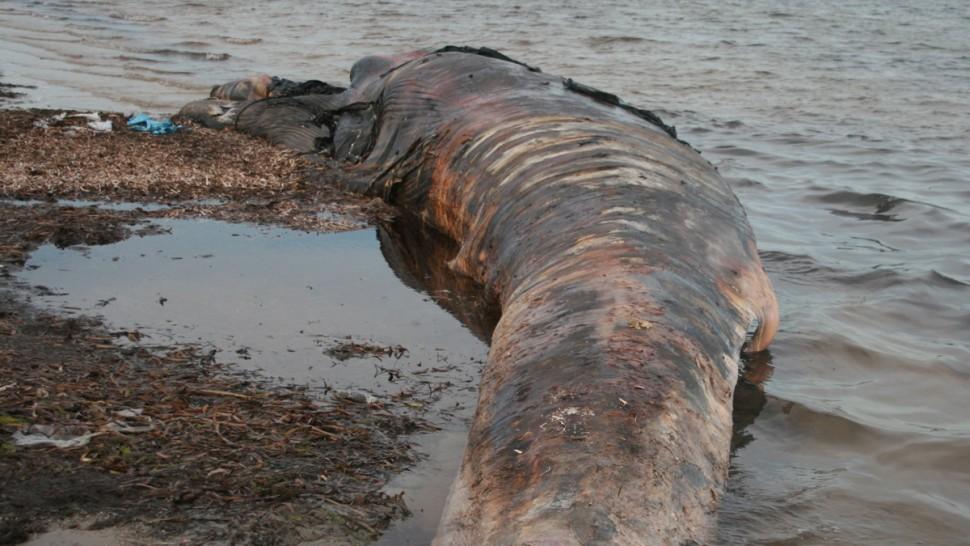 صفاقس : جثة حوت ''الهركول الشائع'' تصل إلى سواحل المحرس