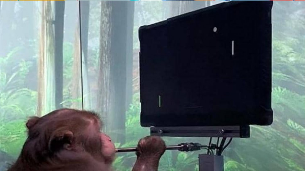 قرد يلعب 'بينغ بونغ' بعد زراعة شريحة في دماغه ( فيديو)