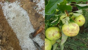 بعد تساقط البرد : دعوة للتدخل العاجل لاستيعاب الكميات المتضررة من ''تفاح سبيبة''